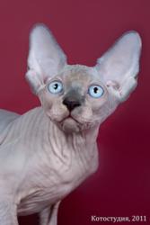 От элитных производителей котята продаются.