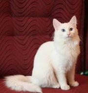 Продаются котята породы турецкая ангора